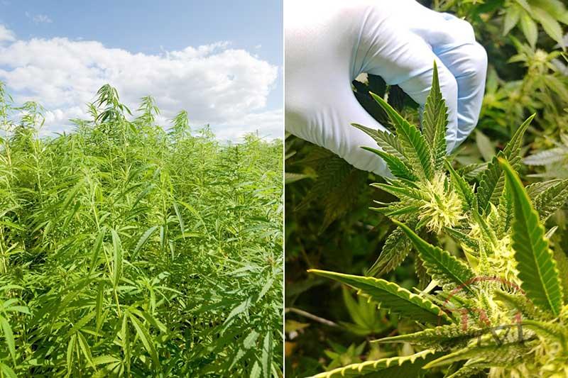 How To Distinguish Hemp And Marijuana